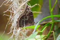 Owl Butterfly Caligo Memnon Immagine Stock Libera da Diritti