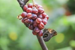 Owl Butterfly (Caligo Memnon) Stock Photography