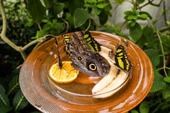 Owl Butterfly Caligo Memnon Stock Image