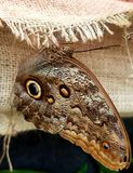 Owl Butterflies in Brown Colors stock image