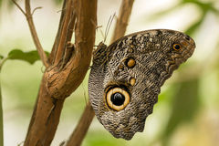 Owl Butterfly (Caligo Memnon). Portrait of a large Owl Butterfly perching on a twig in tropical  butterfly garden,Mindo,Ecuador Royalty Free Stock Photography