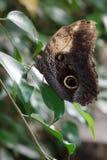Owl Butterfly (caligo memnon) Stock Image