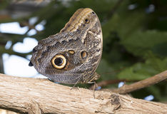 The Owl Butterfly, Caligo Royalty Free Stock Images