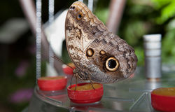 Owl Butterfly Stock Images