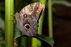 Owl Butterfly Royalty Free Stock Image