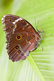 Owl Butterfly Close Up Stock Photo