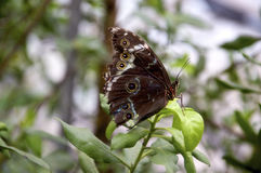 Owl butterfly Closeup Stock Photography