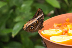 Owl butterfly, closeup Stock Images