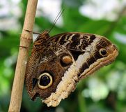 The Owl Butterfly in Costa Rica mariposa naranja. Central america stock photography
