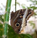 The Owl Butterfly in Costa Rica mariposa naranja. Central america royalty free stock photography