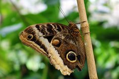 Owl Butterfly in Costa Rica-mariposanaranja Royalty-vrije Stock Foto's