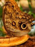 Owl Butterfly Eating Fruit stock foto's