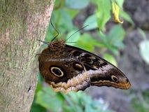 Owl Butterfly eller Caligo Fotografering för Bildbyråer