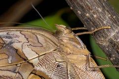 Owl butterfly, eryphanis polyxena stock photos