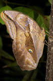 Owl butterfly, eryphanis polyxena royalty free stock photos