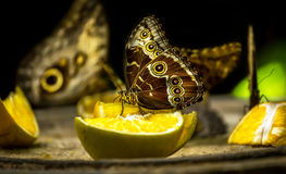 Owl butterfly feeding on fruits Royalty Free Stock Image