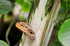 Owl butterfly on fence post Stock Photos