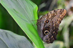 Owl Butterfly in the gardens. Royalty Free Stock Images