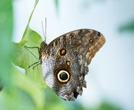Owl butterfly on the green leaf stock photo