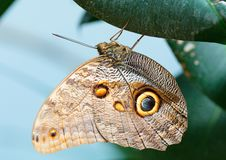 Owl butterfly on the green leaf stock photography