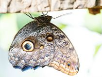 Owl butterfly on the green leaf royalty free stock photography