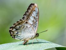 Owl butterfly on the green leaf stock photos
