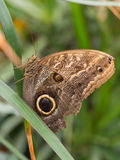 Owl butterfly on hanging leaf Royalty Free Stock Photo