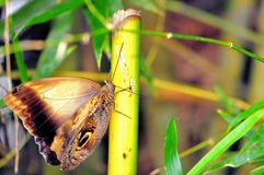 Owl butterfly holding onto a bamboo tree Royalty Free Stock Image