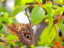 Owl butterfly holding onto a branch Royalty Free Stock Image