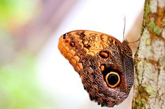 Owl butterfly holding onto a tree Royalty Free Stock Images