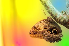 Owl butterfly holding on to a tree in aviary Royalty Free Stock Photos