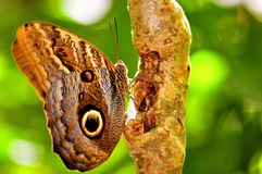 Owl butterfly holding on to a tree, Florida Royalty Free Stock Photography