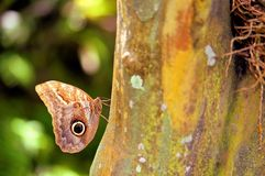 Owl butterfly holding on to tree in Florida Royalty Free Stock Photos