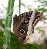 Owl Butterfly i Costa Rica mariposanaranja royaltyfri fotografi