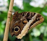 Owl Butterfly i Costa Rica mariposanaranja arkivbild