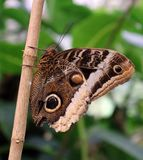 Owl Butterfly i Costa Rica mariposanaranja royaltyfri foto