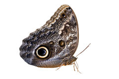 Owl Butterfly Isolated On White Royalty Free Stock Photos