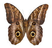 Owl butterfly isolated on white background Stock Photos