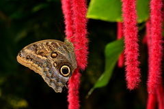 An owl butterfly lands on a pretty chenille plant. An owl butterfly at its favorite garden spot Royalty Free Stock Images
