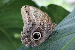 Owl Butterfly on leaf stock photo