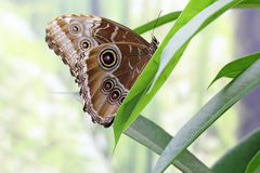 Owl Butterfly on a leaf Stock Images