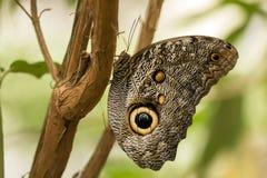 Owl Butterfly (memnon di Caligo) Fotografia Stock Libera da Diritti
