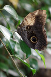 Owl Butterfly (memnon di Caligo) immagine stock
