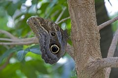 Owl Butterfly na árvore na casa da borboleta Foto de Stock Royalty Free