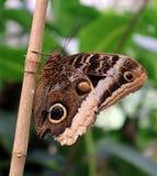 Owl Butterfly in naranja di mariposa di Costa Rica Fotografia Stock Libera da Diritti