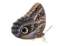 Owl Butterfly op wit wordt geïsoleerd dat Royalty-vrije Stock Foto's