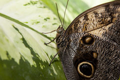 Owl Butterfly over green leaf Royalty Free Stock Photos