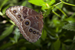 Owl Butterfly over groen Royalty-vrije Stock Foto's