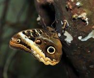 Owl Butterfly på ett träd arkivfoton