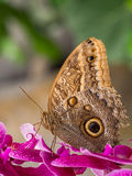 Owl butterfly on pink orchid Royalty Free Stock Image